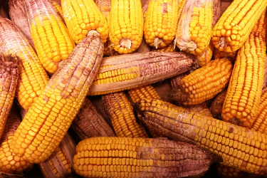 Maize contaminated with Fusarium graminearum